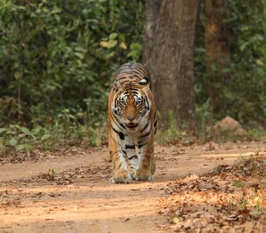 Female Tiger in Kanha National Park
