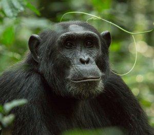 Kibale Chimp