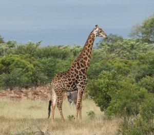 Safari scene
