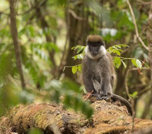 Bale Mountains Monkey