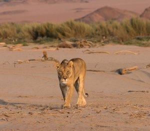 Desert lioness